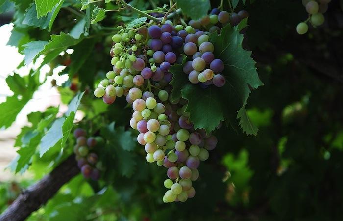 Le raisin peut il combattre la d pression li e au stress - Maladie du raisin photo ...
