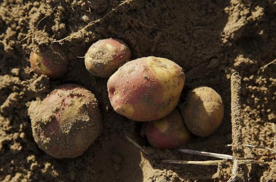 Cancer de l'estomac : manger des pommes de terre pour réduire les risques