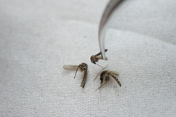 Zika : la Polynésie française est une porte d'entrée possible