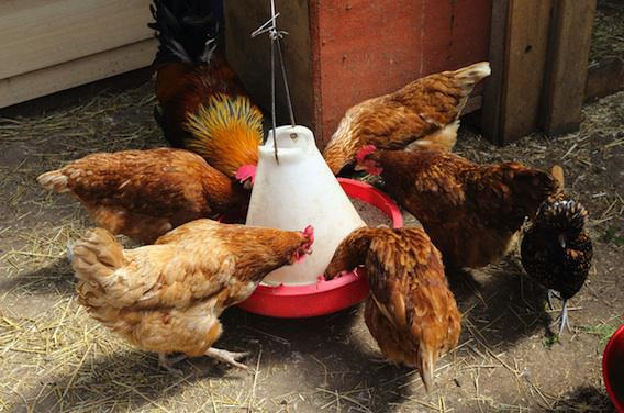 Grippe aviaire : un plan d'urgence sanitaire  activé