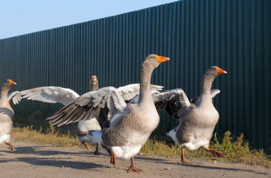 Grippe aviaire : un premier cas confirmé en Île-de-France