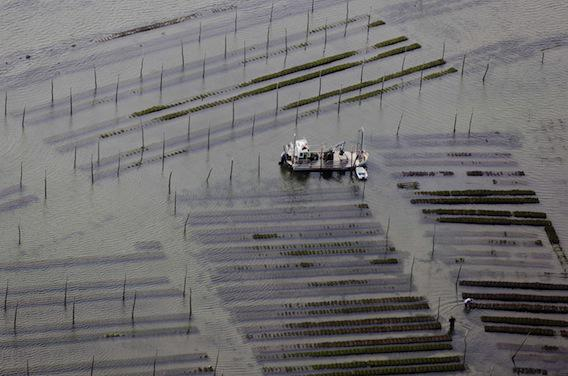 Arcachon : les huîtres et coquillages interdits temporairement