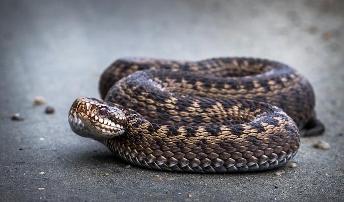 Un serpent responsable de deux cas de syndrome des loges