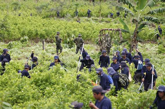 Drogue : la Colombie interdit la pulvérisation de pesticides