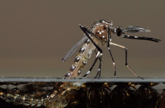Dengue, chikungunya : des cas autochtones inquiètent les autorités