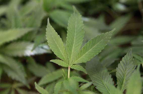 Cannabis : un Français sur trois en a déjà consommé
