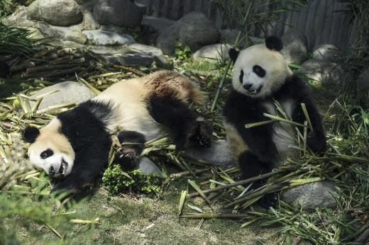 Alimentation : le panda a tout faux avec le bambou !