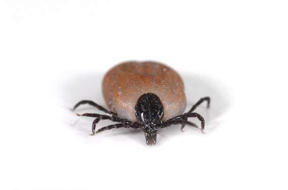 Maladie de Lyme : mal évaluée et mal traitée