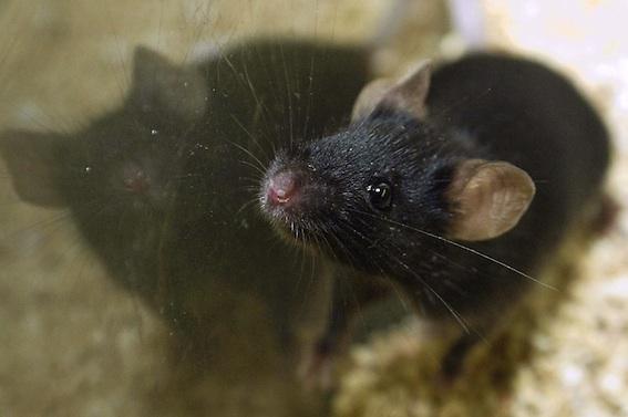 Des chercheurs prolongent l'espérance de vie en bonne santé de souris
