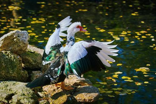 Grippe aviaire : le Gers à l'épicentre de l'épizootie