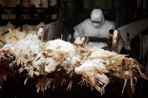 Grippe aviaire : Hong Kong abat des milliers de volailles