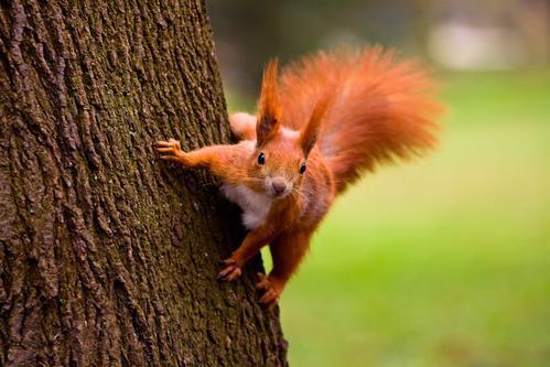 Des écureuils porteurs de la lèpre du Moyen-Age