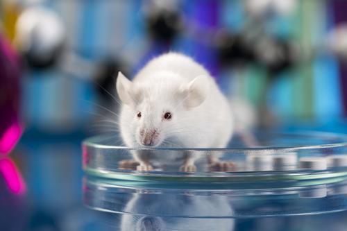 Recherche animale : des pratiques très encadrées