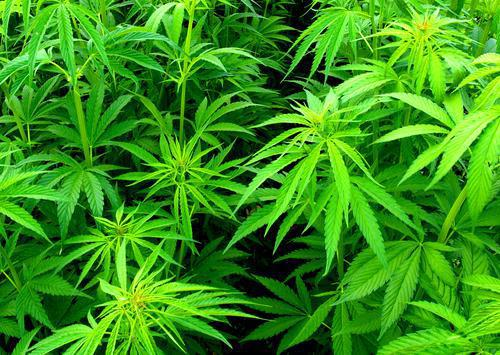 Cannabis : les propositions de Terra Nova pour encadrer la légalisation