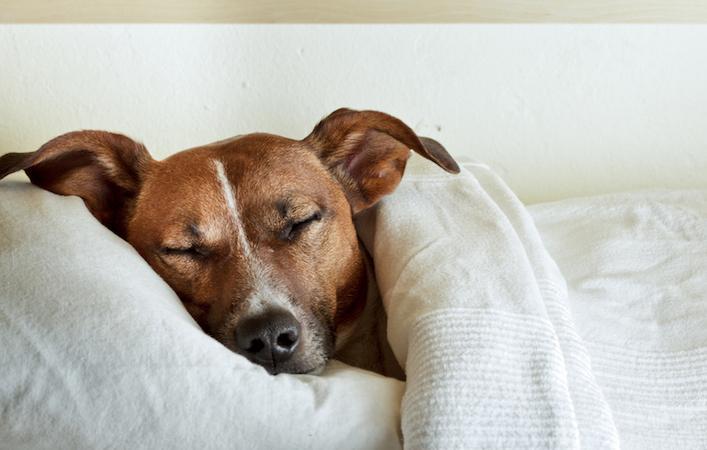 Les chiens dans la chambre ne perturbent pas le sommeil