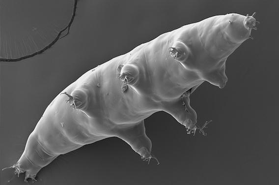 Rayons X : les secrets du tardigrade utiles pour protéger l'homme