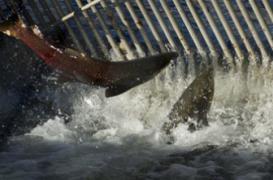 Un saumon à sang chaud découvert par des biologistes américains