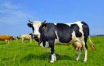 L'intolérance au lactose résolue? Une très bonne nouvelle pour le corps et le cœur