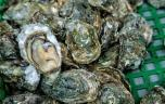 Manche : la pêche d'huîtres interdite après l'intoxication de 17 personnes