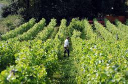 Pesticides : des vins 3000 fois plus contaminés que l'eau