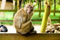 156 macaques porteurs d'un virus mortel euthanasiés dans les Landes