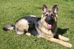Cancer de la thyroïde : ces chiens qui le flairent