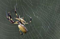 Une araignée venimeuse géante sort d'une banane bio