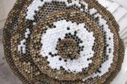 Le frelon asiatique bientôt éradiqué grâce à des chercheurs