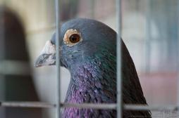 Grippe aviaire dans le Nord : des mesures drastiques pour éviter la propagation