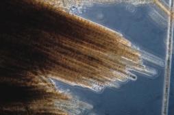 Canaries : une micro-algue urticante prolifère sur les plages