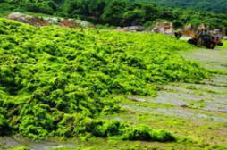 Des algues vertes affecteraient des fonctions du cerveau