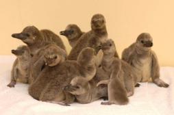 Des pingouins souffrent de dépression saisonnière