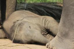 Étudier les éléphants pour comprendre le sommeil humain