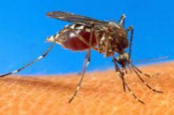Dengue: la Floride dit non aux moustiques OGM