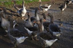 Foie gras : des canards malades dans nos assiettes ?