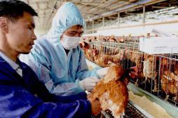 Grippe aviaire : niveau d'alerte grave à Hong-Kong