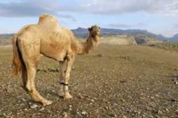 Coronavirus : plus de doute sur la transmission du dromadaire à l'homme