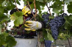 Acné : une piste pour un nouveau traitement à base de raisin