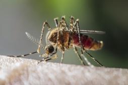 Des scientifiques ont créé le moustique anti-paludisme