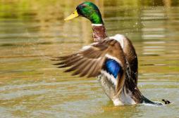 Grippe aviaire : un canard infecté dans le Pas-de-Calais