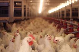 Maltraitance animale : l'association L214 maintient sa plainte contre un élevage de poules