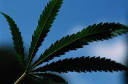 Cannabis : des allergies parfois graves