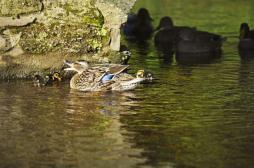 Grippe aviaire :  une nouvelle...