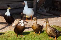 Grippe aviaire : la zone d'abattage étendue à 573 communes