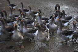 Grippe aviaire :  trois nouveaux cas en...