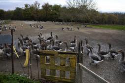 Grippe aviaire : deux nouveaux cas...