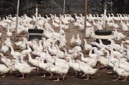 Chine : troisième cas de grippe aviaire H9N2
