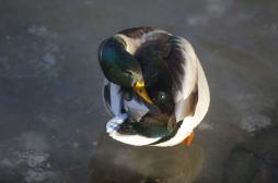 Grippe aviaire : deux nouveaux foyers en Dordogne