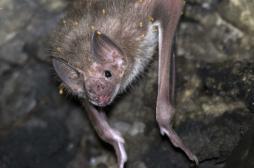 Lot-et-Garonne : des chauves-souris pour chasser les moustiques tigres