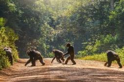 Un nouvel os découvert dans le coeur de chimpanzés, et si l'Homme était concerné ?